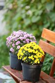 Yellow and lilac flowers in pots on wooden chairs on green garden background