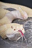 Albino diamondback rattlesnake / Crotalus atrox