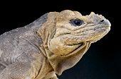 Rhinoceros Iguana / Cyclura cornuta