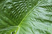 Texture Big Green Tropical Leaf