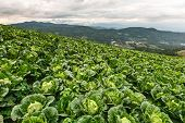 Organic Cabbage Field Growing On Tropical Highland
