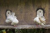 The Decorative White Dove