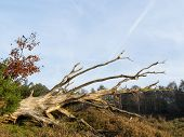 Dead Tree In Heathland