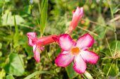 pic of desert-rose  - Adenium obesum Desert Rose Impala Lily Mock Azalea flower - JPG