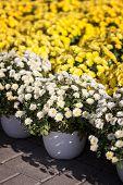 Yellow And White Chrysanthemums