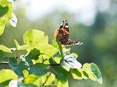 Red Admiral Butterfly On Green Leaves