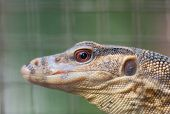 image of monitor lizard  - close up of the head of a young water monitor - JPG