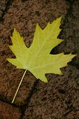Yellow Sycamore Leaf