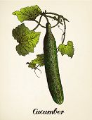 Cucumber vintage illustration. Vector after vintage illustration from Brockhaus' Konversations-Lexikon, 14th edition, Leipzig 1896