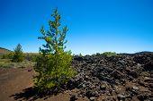 Growth In Lava Fields
