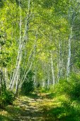Toned picture of Birch tree forest