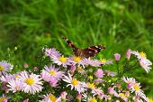Admiral (vanessa Atalanta) Butterfly Sitting On Wild Chrysanthemum Flowers