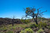 Tree In Craters Of The Moon