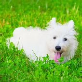 pic of westie  - Wonderful West Highlands Terrier sitting on the ground square image - JPG