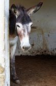 pic of donkey  - Donkey looks out from the donkey barn