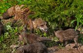 Red Fox Vixen (vulpes Vulpes) And Kits
