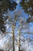 Old Tuscany Plane Tree On Blue Sky