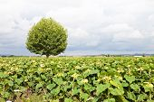 Isolated Plane Tree In A Sunflowers Field Before A Rainstorm