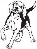 picture of foxhound  - beagle hunting hound dog - JPG
