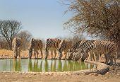 Zebra drinking from waterhole