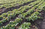 Strawberry Plants In Convergings Rows In The Field