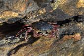 Crab In Rock