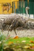 pic of eland  - A side view of an ostrich standing in a zoo - JPG