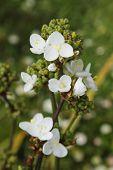 pic of trillium  - White Trillium flowers on a plant - JPG
