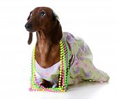 foto of dachshund dog  - female dog  - JPG