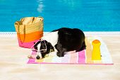 stock photo of sunbather  - Funny female dog wearing sunglasses and sunbathing at poolside on summer - JPG
