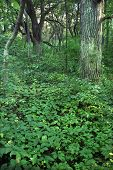 pic of winnebago  - Dense understory vegetation covers the forest floor at Rock Cut State Park in Illinois - JPG