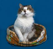 image of blue tabby  - White and fluffy tabby cat sitting in motley couch on blue background - JPG
