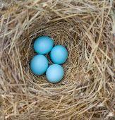 stock photo of bluebird  - Eastern Bluebird  - JPG