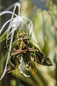 picture of moth  - army green moth  - JPG