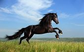 foto of thoroughbred  - beautiful black horse playing on the field - JPG