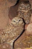 Burrowing Owls (Athene cunicularia) in Arizona