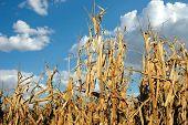 Cornfield At Harvest