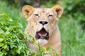 foto of zoo  - The portrait of White lion in Thailand zoo - JPG