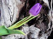Driftwood Tulip