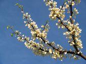 White Redbud Branch- Cercis Canadensis