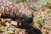 image of gila monster  - The endangered Gila monster is the only venomous lizard found in the United States - JPG