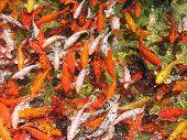 Koi_Fishes