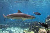 Sharkswim