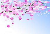 picture of cherry-blossom  -  Card of cherry tree branch - JPG