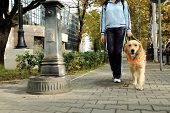 stock photo of seeing eye dog  - Seeing eye dog helping blind person to walk. Trained dog.