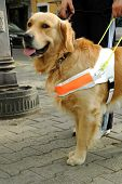 image of seeing eye dog  - Seeing eye dog help blind person - JPG
