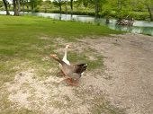 Geese X-Ing