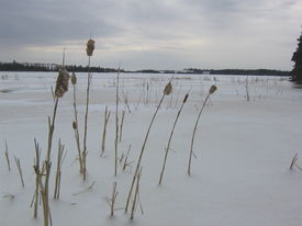 stock photo of bull rushes  - bull rushes bending in the wind along the banks of a frozen river in the mid winter