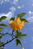 Golden Trumpet Tree aka