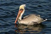 California pelican marrón con ojos azules nada en el agua